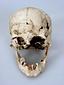 蜆塚遺跡出土抜歯のある頭の骨(女性骨)