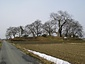 高瀬の大木(ケヤキ)