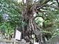 奈良尾のアコウ