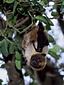 ダイトウオオコウモリ