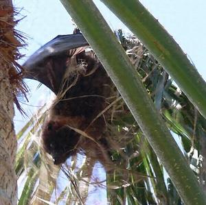 エラブオオコウモリ 文化遺産オンライン