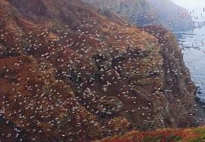 天売島海鳥繁殖地 てうりとうかいちょうはんしょくち