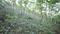 花山のアズマシャクナゲ自生北限地帯