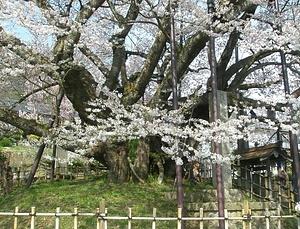 素桜神社の神代ザクラ すざくらじんじゃのじんだいざくら