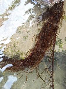 菊池川のチスジノリ発生地 きくちがわのちすじのりはっせいち