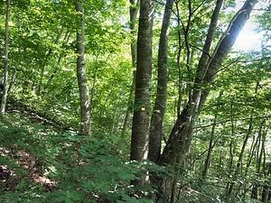平糠のイヌブナ自然林 文化遺産...