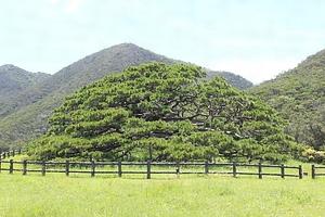 伊平屋島の念頭平松 文化遺産オンライン